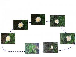 ciclo della rosa